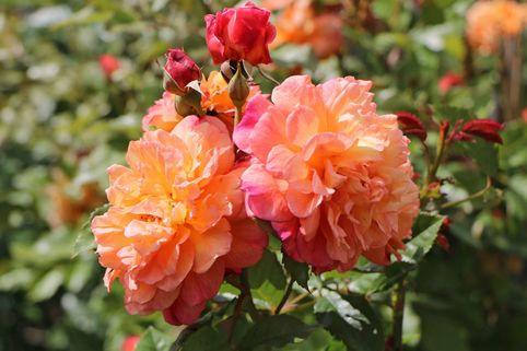 Kletterrose 'Aloha' ® - Rosa 'Aloha' ®