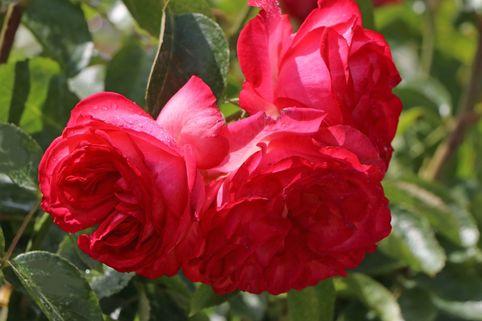 Kletterrose 'Antike 89' ® - Rosa 'Antike 89' ®