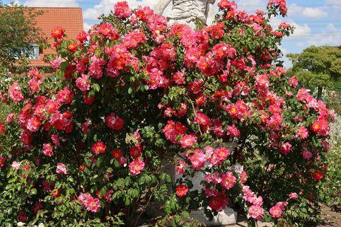 Kletterrose 'Bajazzo' ® - Rosa 'Bajazzo' ® ADR-Rose
