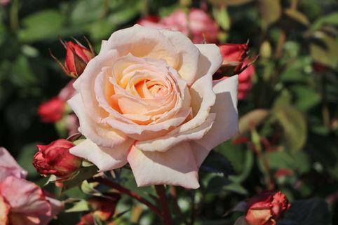 Kletterrose 'Barock' ® - Rosa 'Barock' ®