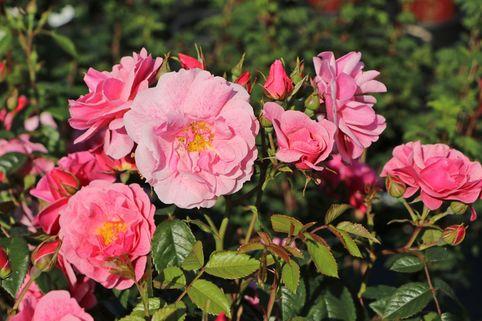 Kletterrose 'Camelot' ® - Rosa 'Camelot' ® ADR-Rose