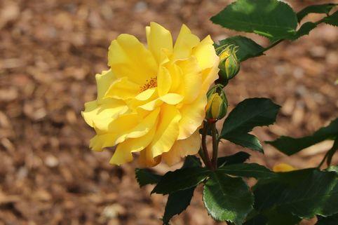 Kletterrose 'Climbing Goldmarie' ® - Rosa 'Climbing Goldmarie' ®