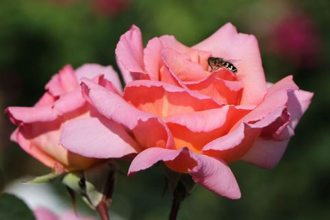 Kletterrose 'Compassion' ® - Rosa 'Compassion' ®