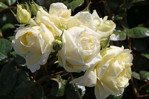 Kletterrose 'Elfe' ® - Rosa 'Elfe' ®