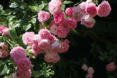 Kletterrose 'Giardina' ® - Rosa 'Giardina' ®