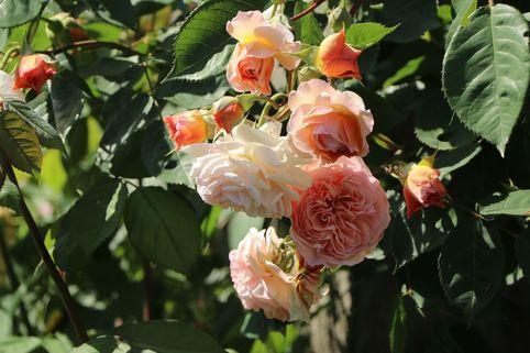 Kletterrose 'Gloire de Dijon' - Rosa 'Gloire de Dijon'