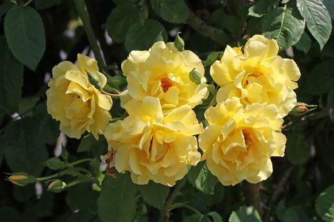 Kletterrose 'Golden Gate' ® - Rosa 'Golden Gate' ® ADR-Rose