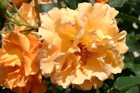 Kletterrose 'Goldener Olymp' ® - Rosa 'Goldener Olymp' ®