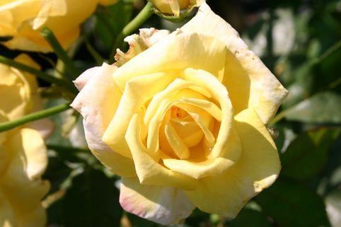 Kletterrose 'Goldfassade' - Rosa 'Goldfassade'