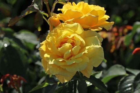 Kletterrose 'Goldstern' ® - Rosa 'Goldstern' ®