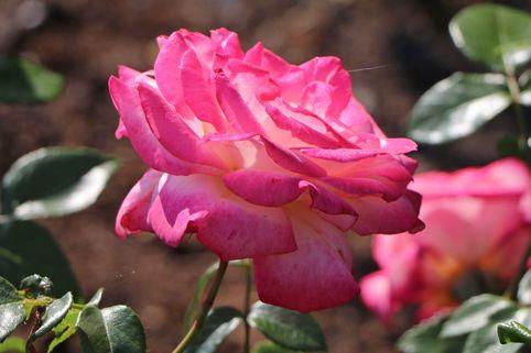 Kletterrose 'Harlekin' ® - Rosa 'Harlekin' ®