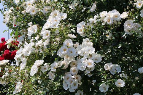 Kletterrose 'Hella' - Rosa 'Hella' ADR-Rose