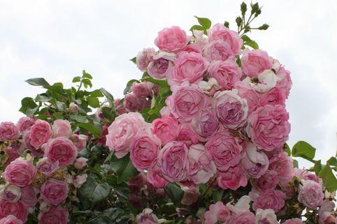 Kletterrose 'Jasmina' ® - Rosa 'Jasmina' ®  ADR-Rose