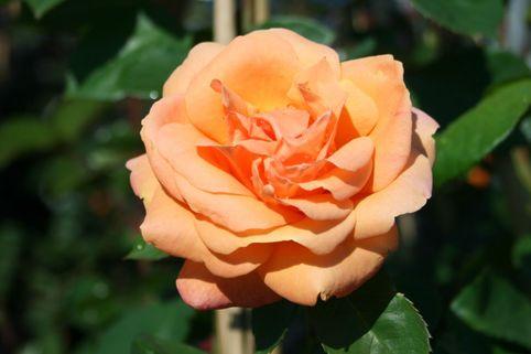 Kletterrose 'Looping' ® - Rosa 'Looping' ®