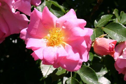 Kletterrose 'Manita' ® - Rosa 'Manita' ®