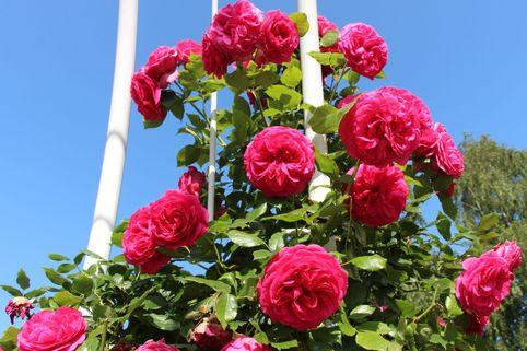 Kletterrose 'Maritim' ® - Rosa 'Maritim' ®