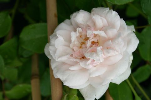 Kletterrose 'Mme Alfred Cariere' - Rosa 'Mme Alfred Cariere'