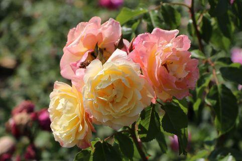 Kletterrose 'Moonlight' ® - Rosa 'Moonlight' ®