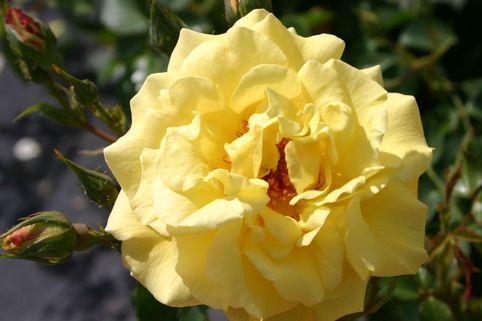 Kletterrose 'Morgensonne 88' ® - Rosa 'Morgensonne 88' ®
