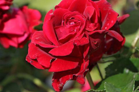 Kletterrose 'Naheglut' - Rosa 'Naheglut'