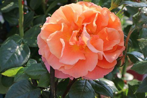 Kletterrose 'Naranga' ® - Rosa 'Naranga' ®