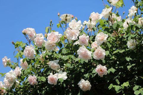 Kletterrose 'New Dawn' - Rosa 'New Dawn'
