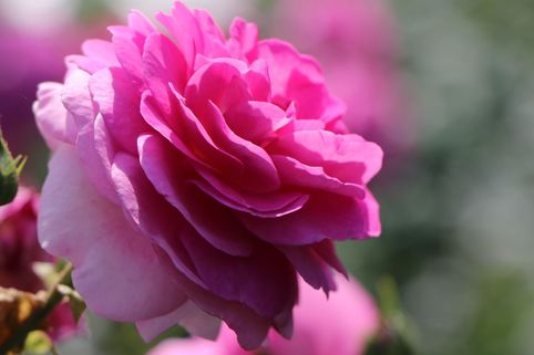 Kletterrose 'Ozeana' ® - Rosa 'Ozeana' ®