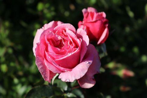Kletterrose Parfuma ® 'Kiss me Kate' ® - Rosa Parfuma ® 'Kiss me Kate' ®