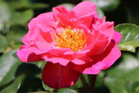Kletterrose 'Paul's Scarlet Climber' - Rosa 'Paul's Scarlet Climber'