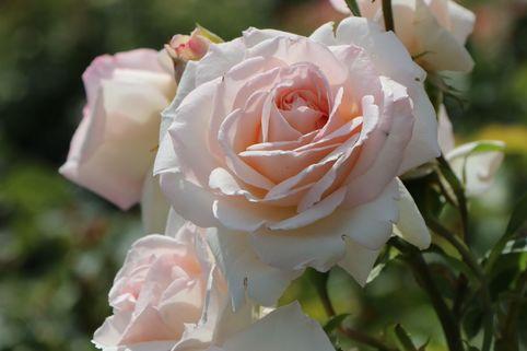 Kletterrose 'Penny Lane' ® - Rosa 'Penny Lane' ®
