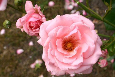 Kletterrose 'Ramira' ® - Rosa 'Ramira' ®