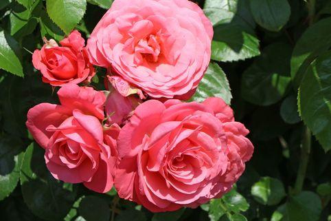 Kletterrose 'Rosanna' ® - Rosa 'Rosanna' ®