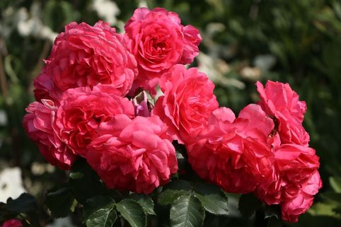 Kletterrose 'Rosarium Uetersen' ® - Rosa 'Rosarium Uetersen' ®