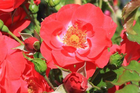 Kletterrose 'Rotfassade' - Rosa 'Rotfassade'