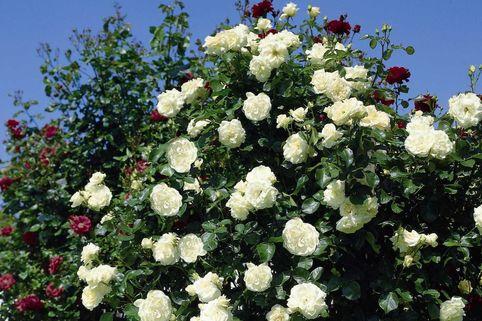 Kletterrose 'Schneewalzer' ® - Rosa 'Schneewalzer' ®