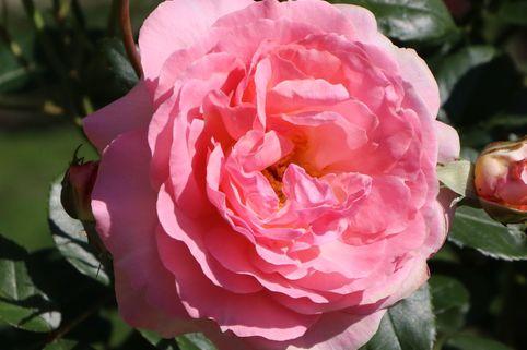 Kletterrose 'Sorbet'  ® - Rosa 'Sorbet'  ®