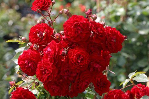 Kletterrose Starlet® Rose 'Natalie' ® - Rosa Starlet® Rose 'Natalie' ®