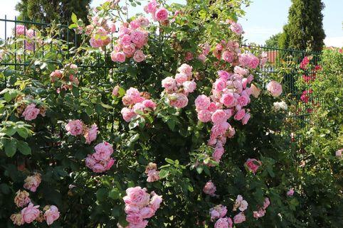 Kletterrose 'Sweet Laguna' ® - Rosa 'Sweet Laguna' ®