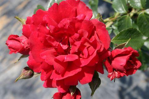 Kletterrose 'Sympathie' - Rosa 'Sympathie'