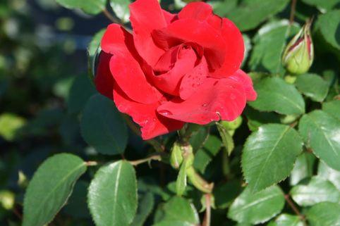 Kletterrose 'The Prince's Trust' ® / 'Baikal' ® - Rosa 'The Prince's Trust' ® / 'Baikal' ®