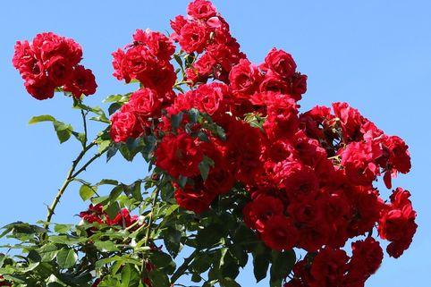 Kletterrose 'Tradition 95' ® - Rosa 'Tradition 95' ®