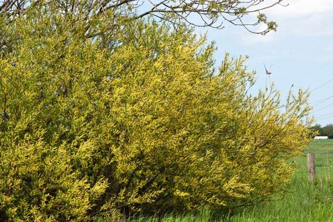 Knackweide - Salix fragilis