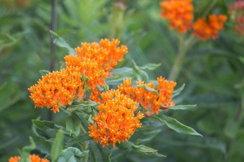 Knollige Seidenpflanze - Asclepias tuberosa