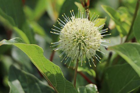 Knopfbusch - Cephalanthus occidentalis