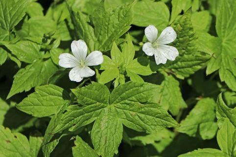 Knotiger Bergwald-Storchschnabel 'Silverwood' - Geranium nodosum 'Silverwood'