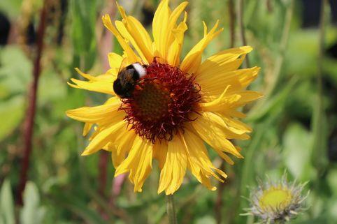 Kokardenblume 'Amber Wheels' - Gaillardia aristata 'Amber Wheels'