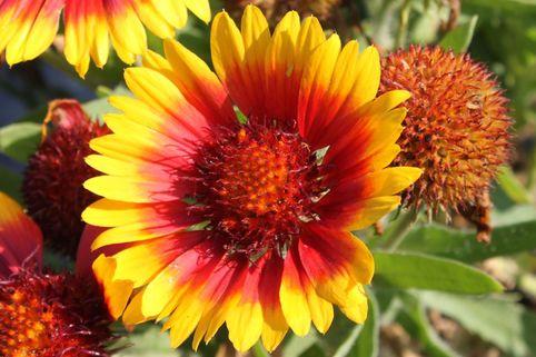 Kokardenblume 'Arizona Sun' - Gaillardia x grandiflora 'Arizona Sun'