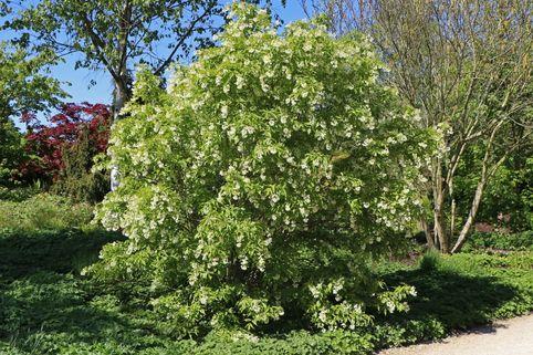 Kolchische Pimpernuss - Staphylea colchica
