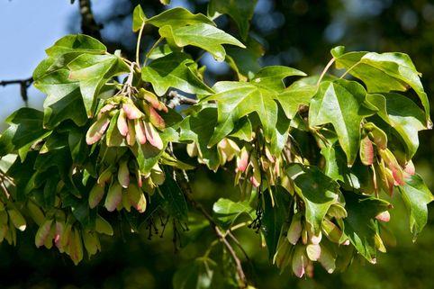 Kolchischer Spitzahorn - Acer cappadocicum