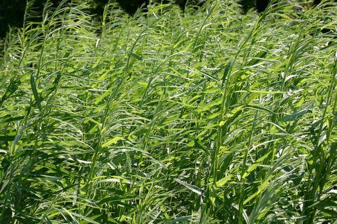 Korbweide / Flechtweide / Hanfweide - Salix viminalis